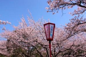 大池公園桜まつり5