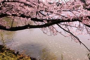 大池公園桜まつり4