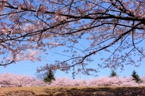 大池公園桜まつり3